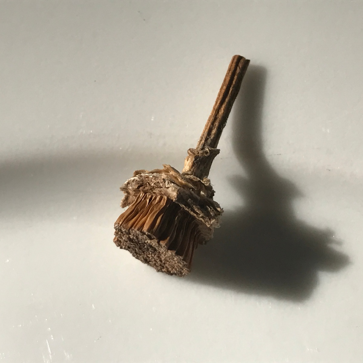 The World's Tiniest Flying Broomstick, or Collecting the Seeds of Stokes' Aster