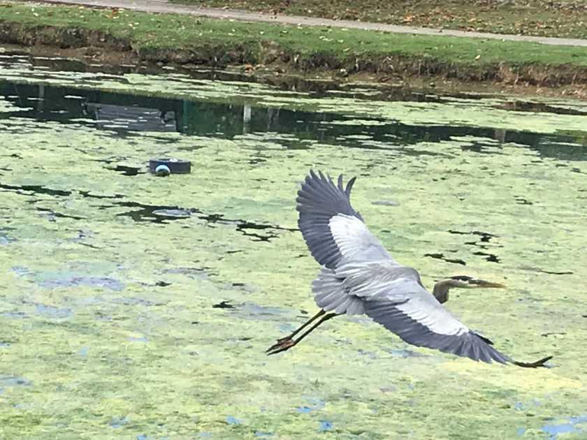 (c) Terri Robertson, T's Southern Garden Blog, Avondale Park, Birmingham, Alabama, blue heron